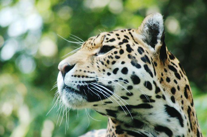 Leopard Bigcats Pride Wildlife Animal Photography Closeup