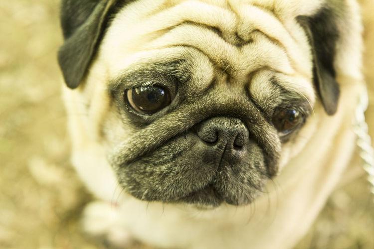 A little sweet pug. Beautiful Beauty Carlino Close-up Cute Dog Examining Horizontal Human Face Lap Dog Looking Piccolo Pug Pug-dog Puppy Purebred Dog Sadness Snout Staring Sweet Eyes Ugliness  Watching Wrinkled One Animal Domestic Animal Body Part Animal Eye