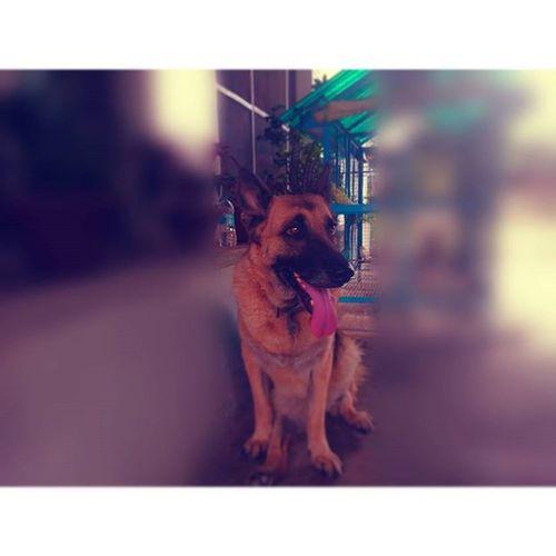 German Shepherd Love Dog Like4like Follow4follow Cute Choti