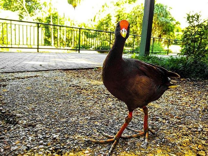He Certainly is Proud . Oneplus2 , Australianwildlife , Bird , Blackandorange