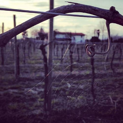 Grapevine Vine Pasianodipordenone Villottadivisinale Visinale Friuli Country Italy Picoftheday