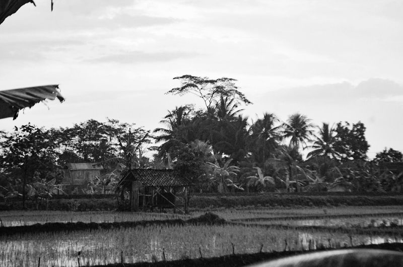 Agriculture Tree Water Rural Scene No People Nature Rice Paddy
