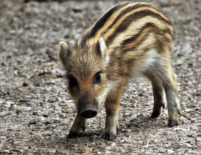 Adorable Autumn Baby Boar Beauty In Nature Boar Cute For Outdoors See What I See Walking Around Taking Pictures