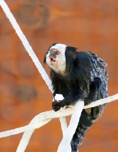 One Animal Animal Wildlife Close-up Rope Perching White Color Black Color Looking Away Caged Animals Marmoset Marmoset Monkey Marmosets Animal In Captivity Animal In The Zoo Animal In Cage Primate Small Animal Small Animals Zoo Animals  Zoophotography Focus On Foreground Nature