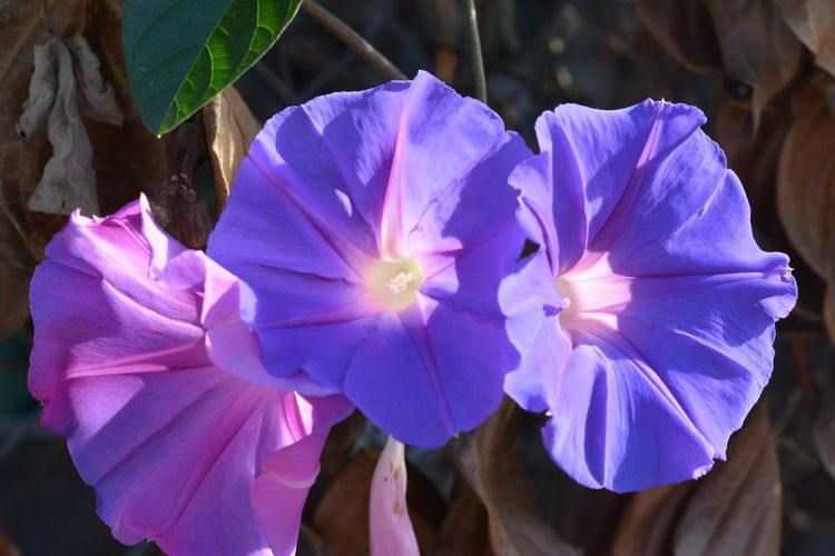 Beauty In Nature Blooming Blue Close-up Flower Flower Head Fragility Freshness Growth Ipomoea Purpurea Ipomoea Tricolor Morning Glory Morning Glory Flower Nature Outdoors Petal Plant Purple