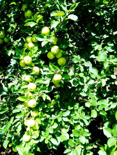 Apples Lazydaysofsummer New Views Outside Photography Sunnyday☀️ Nature_collection Nature Photography #naturelover Superfoodsuperboost Organic Food Organic Energy Heiligengrabe Kloster Apple - Fruit Apples On Tree Garden GREENAPPLES STAND