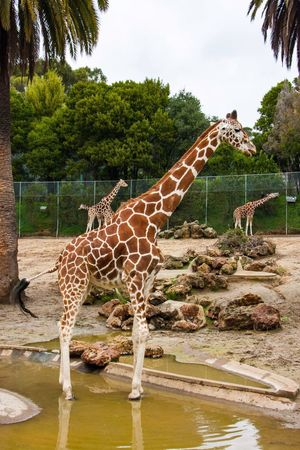Tree Animal Themes Animals In The Wild Giraffe No People Day Water Zoo One Animal Animal Wildlife Built Structure Outdoors Mammal Safari Animals Sky