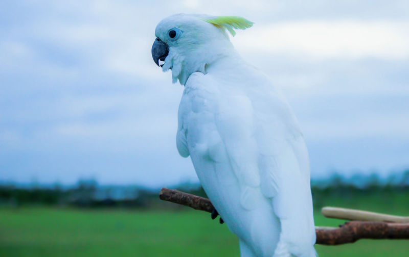 Parrot Animal Themes Bird Animal One Animal White Color Cockatoo Vertebrate Animal Wildlife Animals In The Wild Day Nature No People Focus On Foreground Perching Close-up Outdoors Plant Sky Environment