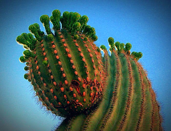 Arizona cactus... Arizona Cactus Blue Sky Desert Landscape Desert Flowerporn Plant Nature Photography