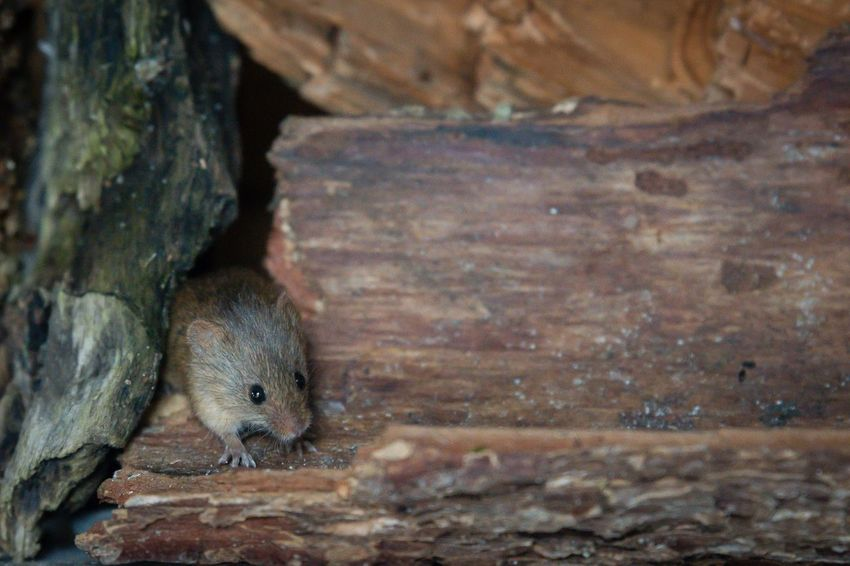 Feldmaus ... field mouse Wildlife Rodent Nagetier Field Mouse Maus Mouse One Animal Animals In The Wild Animal Wildlife Animal Themes No People Day Mammal Outdoors Nature Close-up