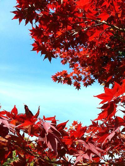 Red maple leaves on tree against sky