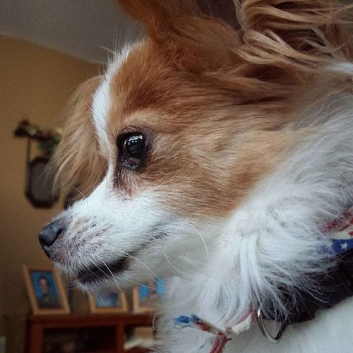 Nofilter Puppy Dog Papillion