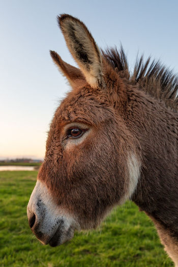 Donkey portrait. Arcata, California Donkey Mule Mammal Animal Themes Animal One Animal Domestic Animals Livestock Animal Head  Animal Wildlife Animal Body Part Pets Close-up Working Animal Domestic Vertebrate No People Field Horse Land Grass Outdoors Herbivorous Profile View Animal Eye