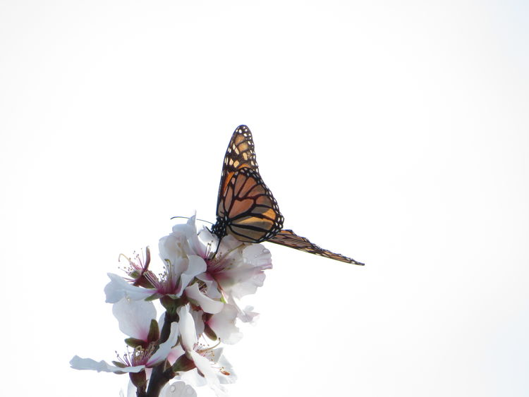 EyeEm Selects Blooming Almond Blossom Monarch Butterfly No Edit/no Filter Spread Wings Butterfly - Insect Freshness Flower Beauty In Nature One Animal Simplicity Nature White Background Simple Beauty In My Garden