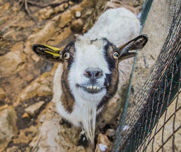 Close-up portrait of goat by fence