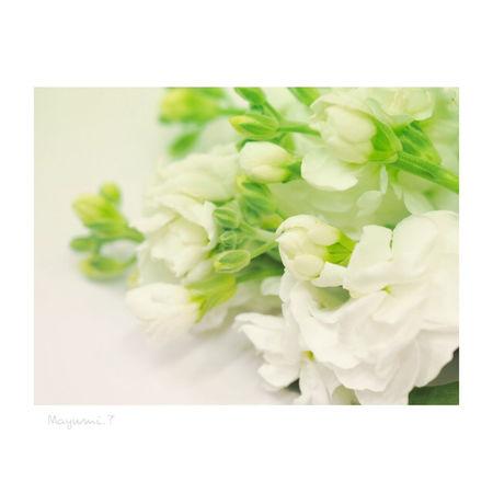 一足お先にぃ❤春の訪れ ストックのお花 Flower White Color Olympus倶楽部 Japan Japan Photography Olympus Photography Playground Olympus OM-D E-M5 Beauty In Nature 日本 東京 White Flower Memories City Life Day Wedding Nature