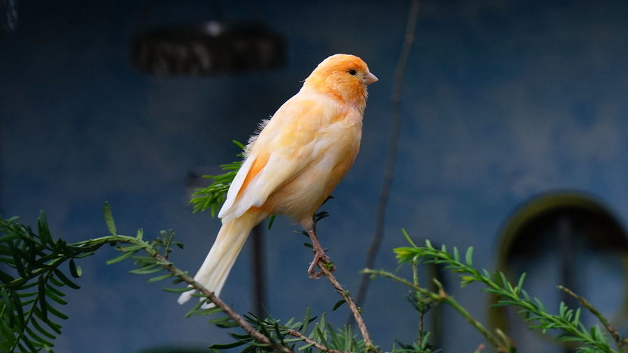 Canary perching on tree