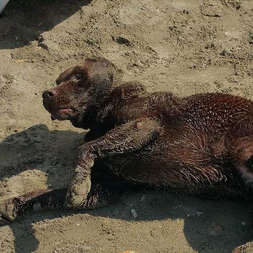 Mare Labrador Scabb