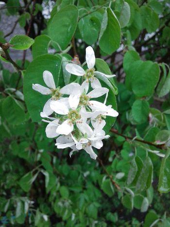 White Flowers Rain Lilac