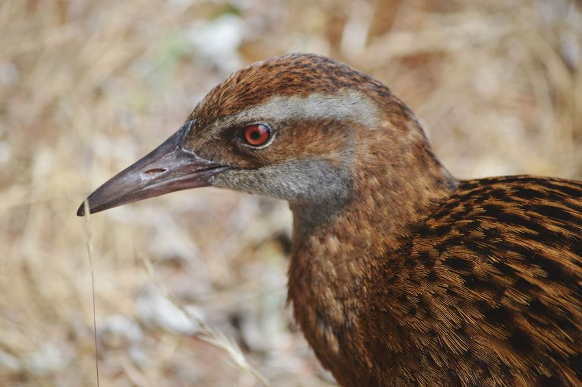 Weka bird close-up Weka New Zealand Red Eyes Feather  Brown Bird Animal Themes Focus On Foreground Animals In The Wild One Animal Close-up Day No People Beak Animal Wildlife Outdoors Nature