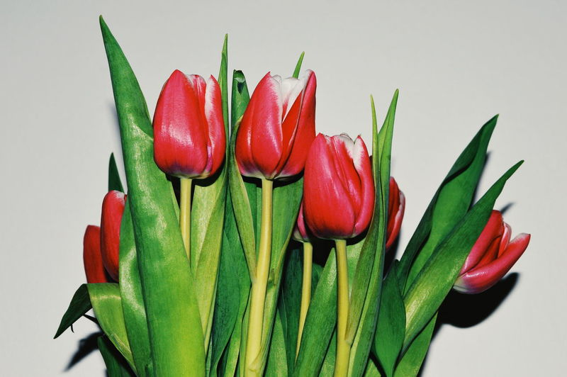 Freshness Studio Shot Indoors  Green Color Close-up Red White Background Still Life Flower Flowering Plant Beauty In Nature Plant No People Vulnerability  Fragility Petal Flower Head Tulips Sepal My Best Photo