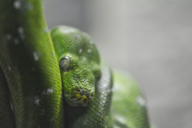 Snakeface Snake