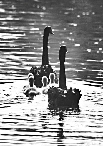 Black and White Parent Swans guide there Signets Blackandwhite Animals The Photojournalist - 2015 EyeEm Awards Closeup Jo Cocklin Nature On Your Doorstep The Great Outdoors - 2015 EyeEm Awards The Moment - 2015 EyeEm Awards