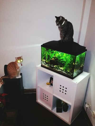Cats Taking Care Fish Pets Aquarium Aquariumfish Indoors  Domestic Cat Home Interior Domestic Animals No People