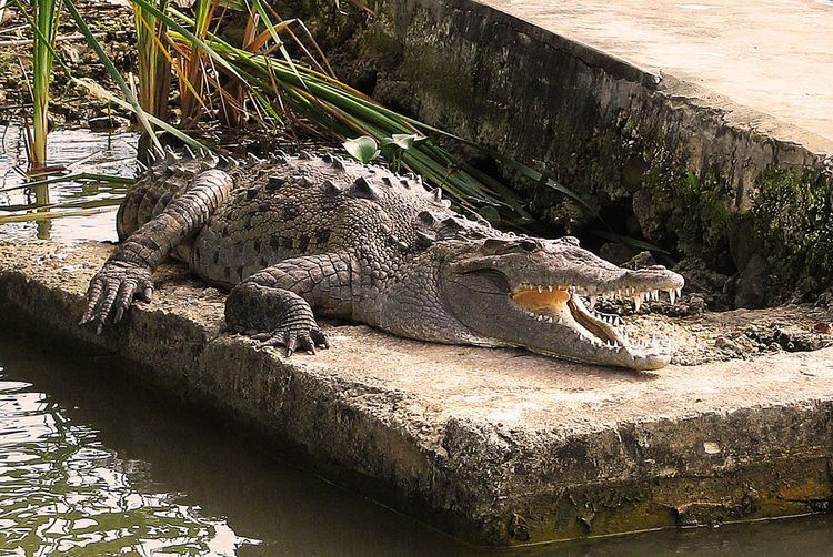 Attention Beauty In Nature Boat Area Close-up Crocodile Day Grass Jamaica Nature No People Outdoors Rock - Object Special Are Tranquility Water