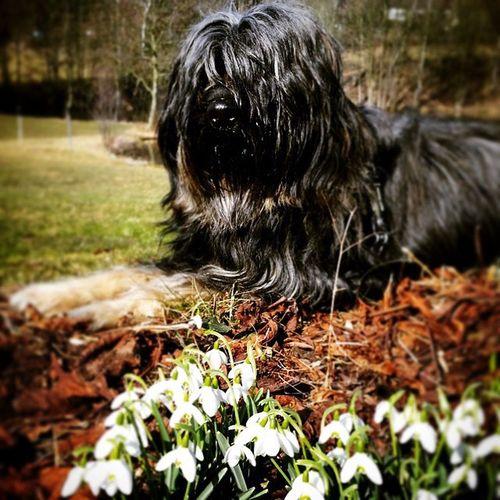 Look, what i found Bentjesgosaugustin& Snowdrops Ilovemydog Gos D'atura Landscape Dog I Love My Dog Mydog Nature Dog Walking