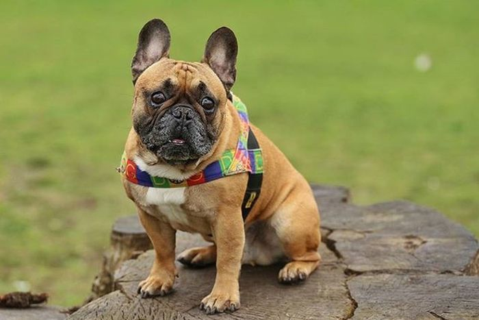 Frenchzone Gonzothunder Frenchzoneonly Frenchielove Crazyfrenchielovers Frenchbulldog Frenchbulldogs Frenchie Frenchies Canon 50mm Doggie Dogs