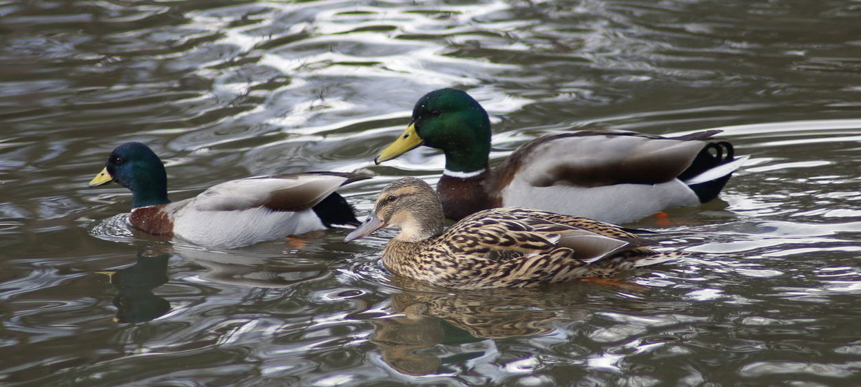 Animal Themes Animals In The Wild Beautiful Nature Beauty In Nature Bird Duck Ducks Ducks At The Lake Lake Landscape_photography Male And Female Mallard Duck Mallard Ducks Natural Natural Beauty Nature Nature Nature On Your Doorstep Nature Photography Nature_collection Water Water Bird Water Fowl Wildlife Winter