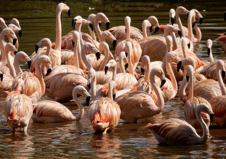 EyeEm Selects Bird Flamingo Water Togetherness Lake Swimming Swan Water Bird The Creative - 2018 EyeEm Awards