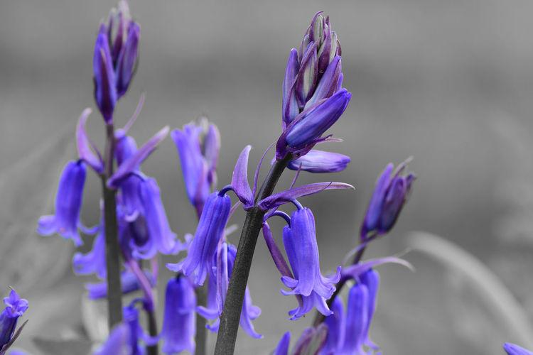 Colorsplash of bluebells in bloom