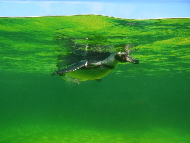 泳ぐペンギン Penguin