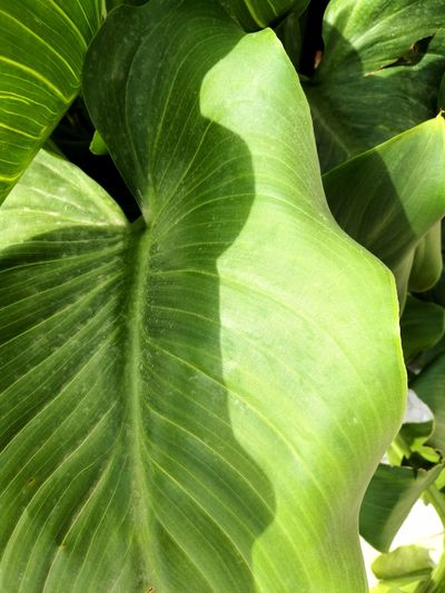 Large leaf plant between sunshine and shadow in a garden in Barcelona, Catalonia, Spain Life Chlorophyll Pattern Lines Garden Banana Leaf Large Foliage Bush Leaf Shape Curved  Outdoors Nature Plants Plant Tissue Natural Pattern Light And Shadow Sunshine Photosynthesis Green Tones Large Leaves Leaf Close-up Green Color Plant Leaf Vein Leaves Botanical Backgrounds Plant Life