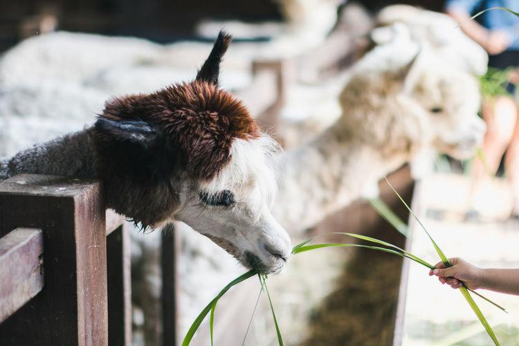 Cropped Hand Of Child Feeding Llama At Farm