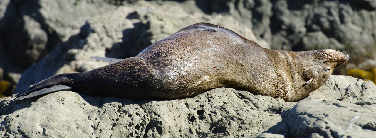 View of an animal resting on rock