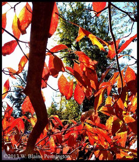 Firey Dogwoods Leaves Autumn Trees