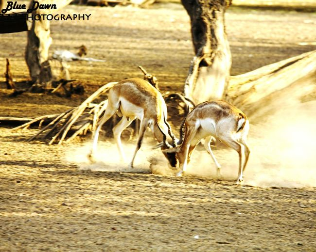 Wildlife Nature Photography 43Golden Moments Sunshine Check This Out Hello World Zoophotography Vibrant Colors Eye Em Gallery Enjoying Life Taking Photos Nature_collection Bluedawnphotography Professional Photographer Beautifulcreature EyeEm Nature Lover Deer ♥♥ 43 Golden Moments