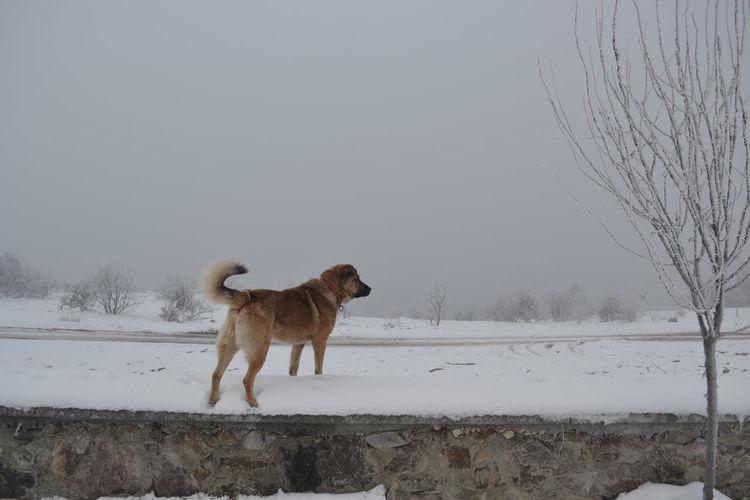 the dog Snow