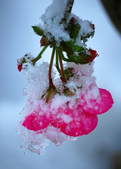 Snow in October Snow In Autumn Beauty In Nature Close-up Cold Temperature Flower Focus On Foreground Fragility Geranium Ice Mixed Seasons No People Outdoors Pink Color Snow Snowy Flower Weather Perspectives On Nature