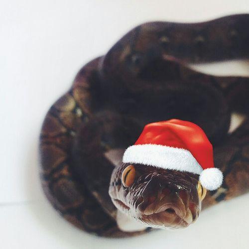 Holiday issssh coming! Merry christmassssh. Xoxo, Bubu♥ Christmas Snake Retic Reticulatedpython