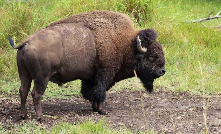Bison Foraging