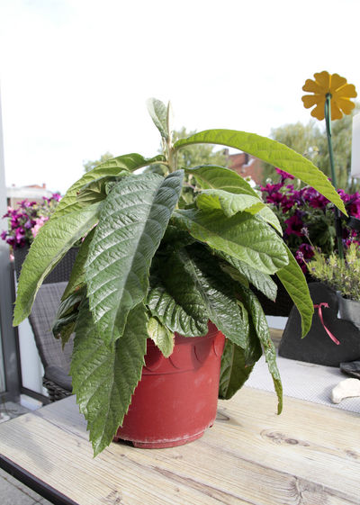 Loquat Tree Japanische Wollmispel Japanische Mispel Wollmispel Plant Leaf Plant Part Growth Nature Freshness Potted Plant Flower Green Color Flowering Plant Close-up Beauty In Nature Table No People Vulnerability  Fragility Focus On Foreground Indoors  Day Flower Head Flower Pot Houseplant