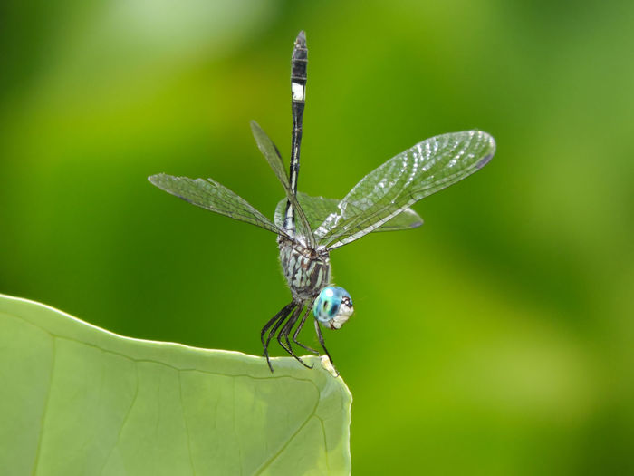 Animal Wing Animals Beauty In Nature Blue Dragonfly Blue Eyes Close-up Dragonfly Fragility Green Color Insect Magazhu Natural Pattern Nature No People Outdoors Plant Showcase August Tropical Wildlife Yelapa
