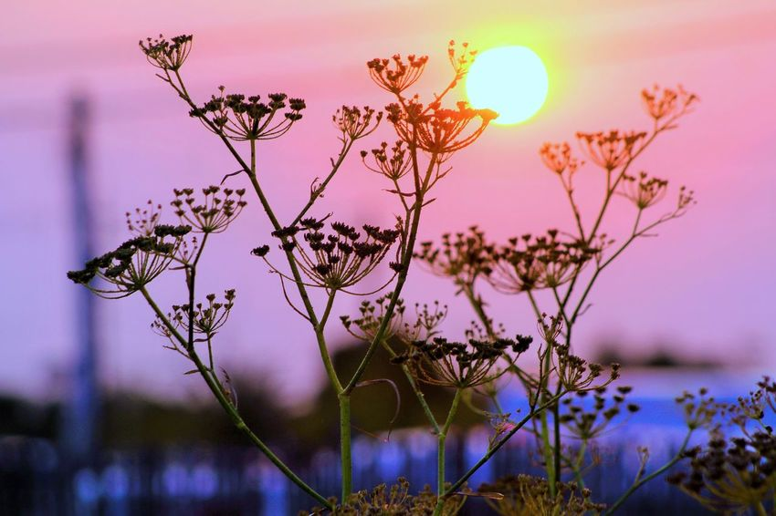 Beauty In Nature Branch Close-up Day Dusk Flower Flower Head Fragility Freshness Growth Nature No People Outdoors Plant Purple Sky Sun Sunset Tree Water EyeEmNewHere