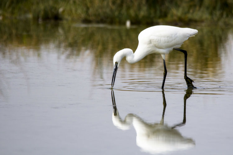 little egret Animal Themes Animal Wildlife Animals In The Wild Beak Beauty In Nature Bird Close-up Day Egret Egretta Egretta Garzetta Full Length Garzetta Great Egret Lake Nature No People One Animal Outdoors Reflection Swan Water White Color