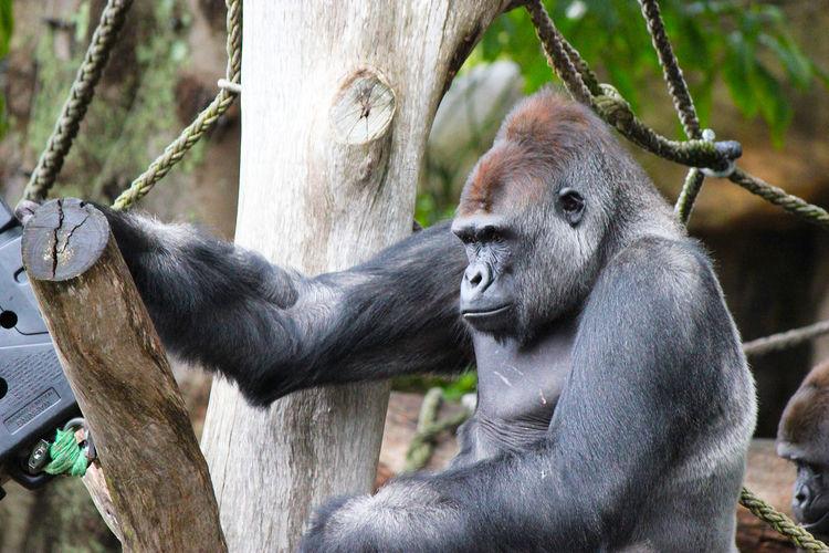 Close-up of monkey in captivity