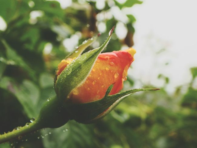 Roses Flowers Flowerpower Macro Makro HS20 EXR Red